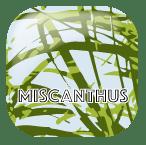 Miscanthus granulés